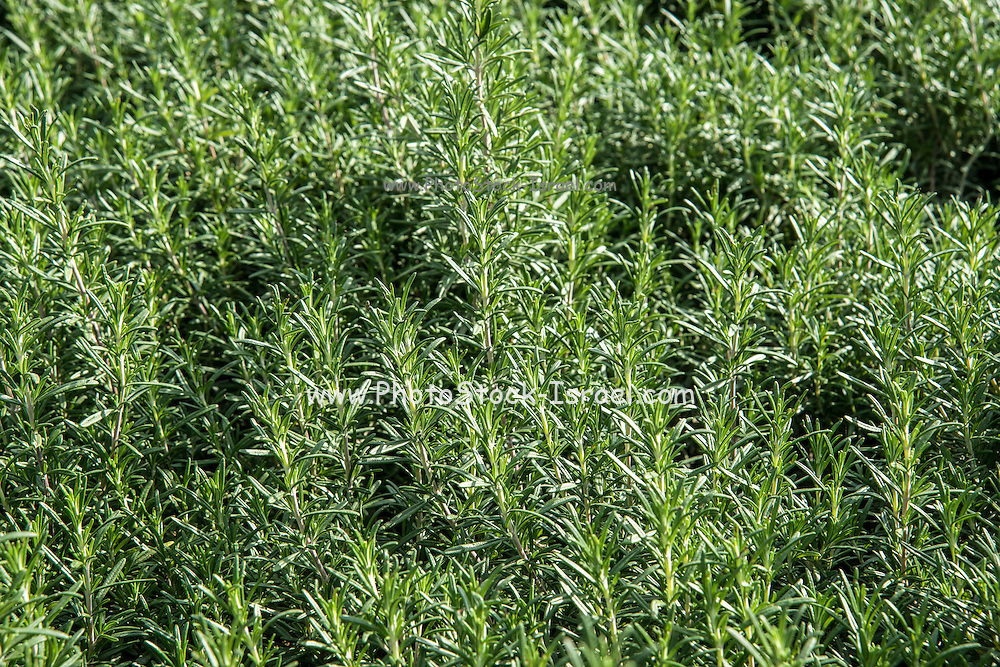 A field of Cultivated Rosemary