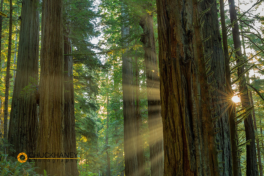 Giant redwood forest in Jebediah, Smith State Park and Redwoods National Park, California, USA