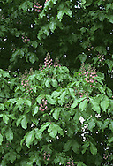 Red Horse-chestnut Aesculus x carnea (Height to 20m) is a hybrid between Horse-chestnut and Red Buckeye (see next page) and forms a sizeable, domed tree with a gnarled bole and twisted branches. The leaves are composed of 5–7 leaflets, each dark green and with toothed margins. The flowers are similar to those of Horse-chestnut: sometimes creamy-white with yellow blotches at first but turning pink with red blotches. Red Horse-chestnut is widely planted in parks and formal gardens.