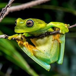 """""""Perereca-araponga (Boana albomarginata) fotografado em Guarapari, município do estado do Espírito Santo -  Sudeste do Brasil. Bioma Mata Atlântica. Registro feito em 2018.<br /> ⠀<br /> ⠀<br /> <br /> <br /> <br /> <br /> ENGLISH: White-banded tree frog photographed in Guarapari, in Espírito Santo - Southeast of Brazil. Atlantic Forest Biome. Picture made in 2018."""""""
