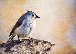 A Tufted Titmouse perched on a chunk of rotting wood with a textured backdrop.
