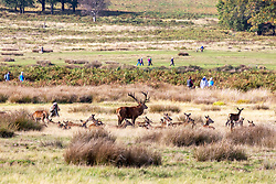 © Licensed to London News Pictures. 05/10/2020. London, UK. A wildlife photographer snaps a herd of deer as walkers enjoy the mild temperatures and autumnal colours in Richmond Park today after Storm Alex lashed the UK with 3 days of rain. Weather forecasters predict sunshine and showers with a high of 16c for the rest of the week. Photo credit: Alex Lentati/LNP