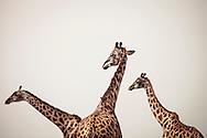 Giraffes in the Masai Mara National Reserve, Kenya, Africa