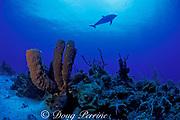 tube sponges, Agelas conifera, and bottlenose dolphin, Tursiops truncatus, Cayman Brac, Cayman Islands ( Caribbean Sea )