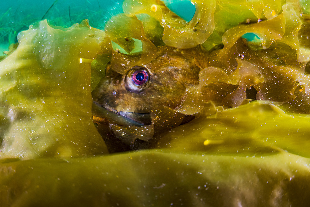 A shorthorn sculpin (Myoxocephalus scorpius) hiding in kelp in Terra Nova National Park, Newfoundland, Canada.