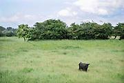 Nederland, Nijmegen, 8-6-2012Een wild rund, gallowayrund, stier, in de uiterwaarden van de rivier de waal.Foto: Flip Franssen/Hollandse Hoogte