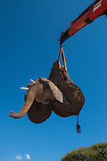 Tranquilized elephant being loaded by crane<br /> & capture team<br /> (Loxodonta africana)<br /> Elephants darted from helicopter to be relocated.<br /> Zimbabwe