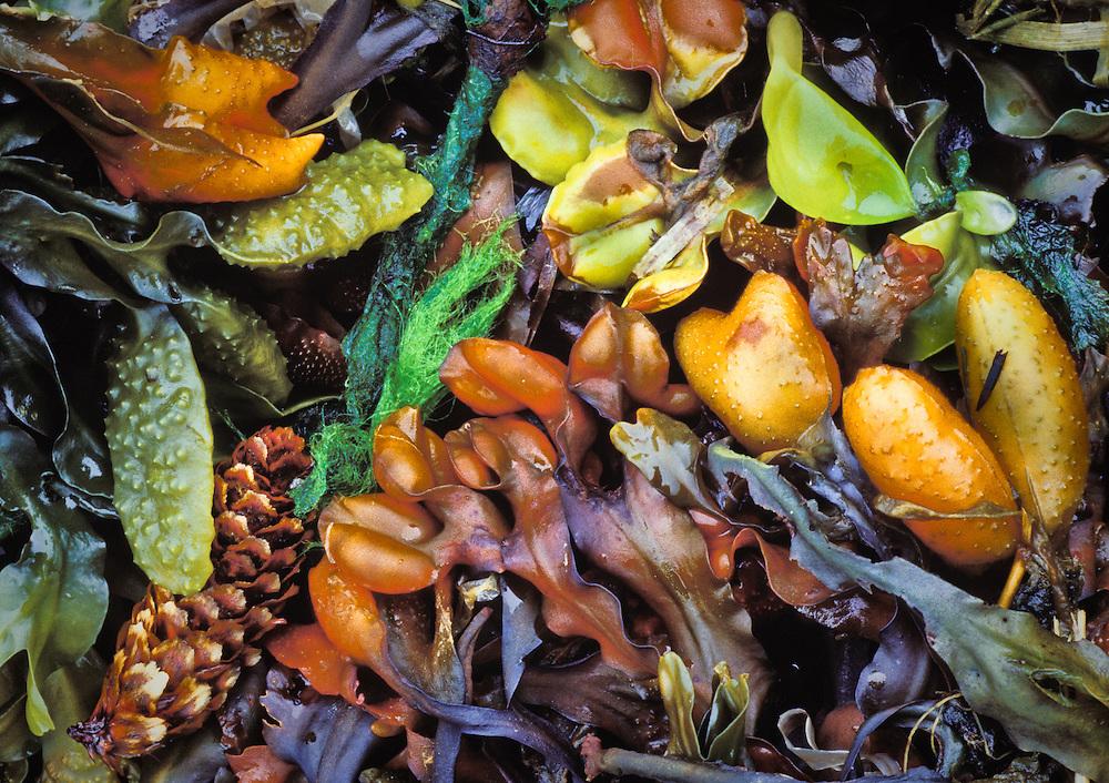Seaweed and Kelp, Prince Willam Sound Shore Line