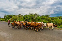 Cattle being herded down a road, Southern Nations Nationalities and People's Region, Ethiopia.