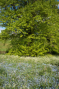 Cow Parsley - Anthriscus sylvestris, and Forget Me Not Myotis blooming in springtime and Lime Tree - Tilia - broadleaf deciduous tree in full leaf, UK