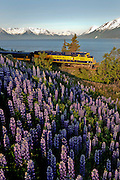 Alaska Railroad train trip past wild lupines at Bird Point with Turnagain Arm and the Chugach Mountains