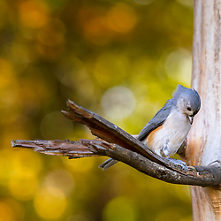 A Tufted Titmouse Tucking it's head, Backed By Autumn Bokeh