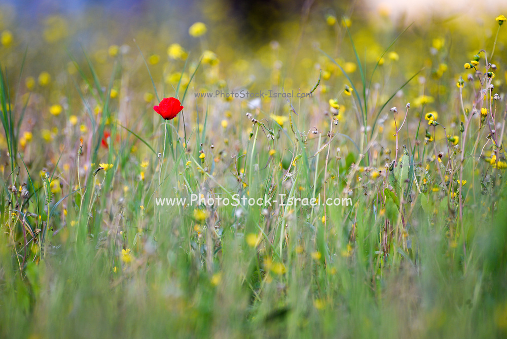 Spring Wildflowers in a field Photographed in Israel in March