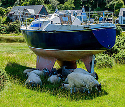 Sheep sheltering from the summer heat under a yacht at Lochranza, Isle of Arran, Scotland<br /> <br /> (c) Andrew Wilson   Edinburgh Elite media