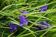 Bellflowers or Glockenblumen (in the Campanula genus, Campanulaceae family) bloom in alpine meadows. Hike the dramatic Sentier des Chamois from Verbier, in Switzerland, the Alps, Europe. The Chamois Path starts at La Chaux ski lift and ends at Fionnay PostBus. Cross Col Termin (2648m/8688 ft) in Haut Val de Bagnes nature reserve and descend to Lake Louvie via 1800s stone barns to the north, then to Fionnay (640 m up, 1415 m down in 8.5 hours). Optionally stay overnight in dorms Cabane de Louvie.
