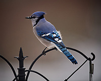 Blue Jay Image taken with a Nikon D5 camera and 600 mm f/4 VRII lens (ISO 720, 600 mm, f/4, 1/1250 sec).