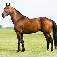 Stallion WARRAWEE NEEDY @ Mac Lilley Farms