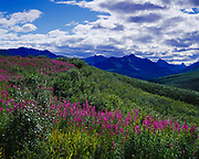 Fireweed, Epilobium angustifolium, blooming above valley of L'il Creek with the Tombstone Range beyond, Tombstone Territorial Park, Yukon Territory, Canada.