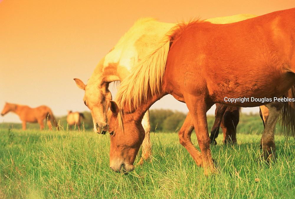 Chincoteague Horses, Virginia, USA<br />