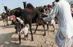 """© Licensed to London News Pictures. 21/11/2012. Pushkar, India.  Three Indian camel traders struggles with their out-of-control camel at the Pushkar Camel Fair in Rajasthan, India. The Pushkar Fair, or Pushkar ka Mela, is the annual five-day camel and livestock fair, held in the town of Pushkar in the state of Rajasthan, India. It is one of the world's largest camel fairs, and apart from buying and selling of livestock it has become an important tourist attraction and its highlights have become competitions such as the """"matka phod"""", """"longest moustache"""", and """"bridal competition"""".  Photo credit : Richard Isaac/LNP"""