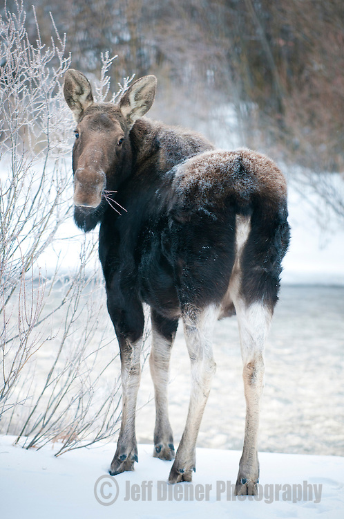 A moose grazes creekside Willow bushes during winter in Jackson Hole, Wyoming.