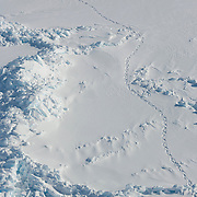 A polar bear (Ursus maritimus) makes tracks in the snow. These tracks are important for being able to find the bears on the ice for darting and capture for scientist's research.