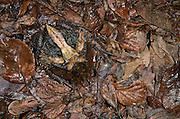 Amazon horned frog (Ceratophrys Cornuta) juvenile<br /> Amazon<br /> ECUADOR. South America