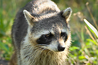 This Sanibel Island raccoon was obviously very used to people, and it came up to sniff the end of my camera lens.