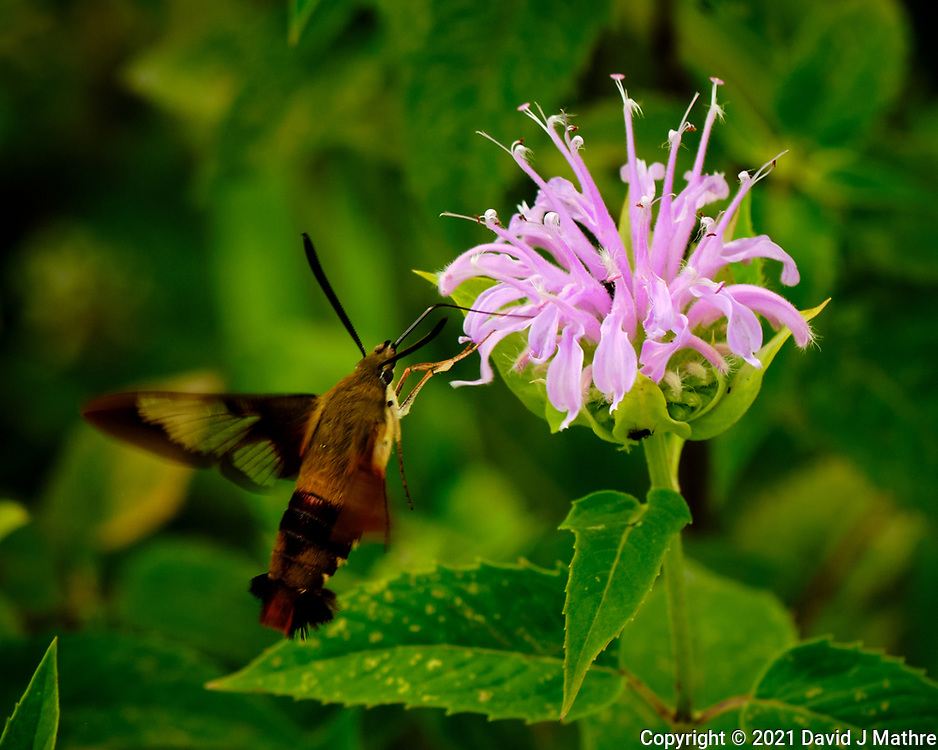 Hummingbird Clearwing Moth (Hemaris Thysbe) feeding on a Bee Balm flower. Image taken with a Fuji X-H1 camera and 80 mm f/2.8 macro OIS lens.