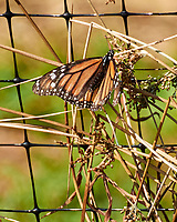 Monarch. Image taken with a Nikon 1 V3 camera and 70-300 mm VR lens.