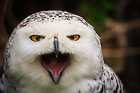 I've observed this owl at the zoo many times but had never really seen it being active before.  This time it was hissing and hooting at me!<br /> <br /> ©2009, Sean Phillips<br /> http://www.Sean-Phillips.com