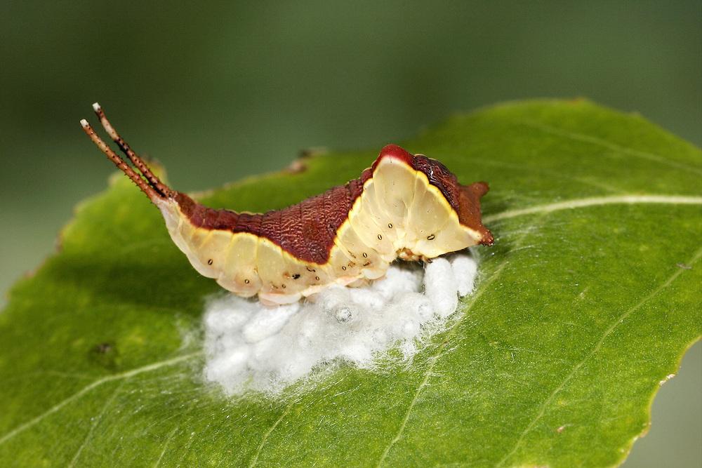 Puss moth larva Cerura vinula with parsaitoid cocoons of Cotesis affinis