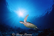 green sea turtle, Chelonia mydas, Sipadan Island, Borneo, Malaysia ( Celebes Sea )