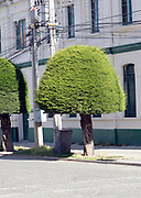 Clipped cypress trees and electric cables.  Plaza Muñoz Gamero,  Punta Arenas, Chile. 16Feb13