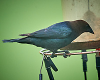 Male Brown-headed Cowbird. Image taken with a Nikon D5 camera and 600 mm f/4 VR lens (ISO 1600, 600 mm, f/5.6, 1/200 sec)