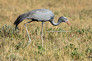 The Blue Crane, (Anthropoides paradiseus) critically endangered in Namibia, occurs exclusively in the Etosha National Park and the Omadhiya lakes, a series of oshanas (seasonally flooded lakes) to the north of the park. To see this rare bird, tourists often visit areas near the Chudop waterhole in the Namutoni area, Salvadora in the Halali area, and recently at Nebrownii, east of Okaukuejo in Namibia's most famous park.