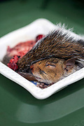 A road-killed squirrel prepared to eat by Fergus Drennan, known as 'Fergus the Forager' at his home in Chartham, Kent, UK