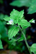 GREEN FIELD-SPEEDWELL Veronica agrestis. Prostrate. Similar to both Common and Field-speedwells but seperable with care. Favours bare and disturbed ground, often on acid soils. Flowers 3-5mm across, the corolla 4-lobed and extremely pale with a white lower lip (Jan-Dec). Fruits with rounded lobes. Leaves fresh green, oval, toothed and in pairs. Status widespread but rather scarce and declining.