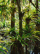 Strap-leaved bromeliad, Guzmania monostachia, Fakahatchee Strand State Preserve, Florida.