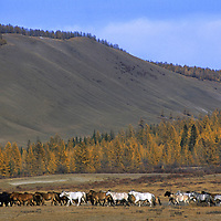 MONGOLIA, Darhad Valley.  Large horse herd in foothills of Horidal Sariday Mts.  Horses are a primary indicator of wealth here.