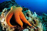 sea star (Hacelia attenuata) | Glatter Seestern (Hacelia attenuata) beim abgrasen eines Schwammes
