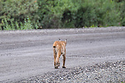 ...and this poor photo of an elusive and very rare animal, a Lynx. I wish we had a better photo but she darted into the brush way too quickly.