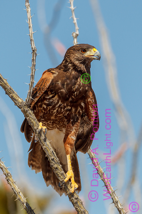 Juvenile Harris's hawk perches on an ocotillo stem, Sonoran Desert, AZ, © David A. Ponton