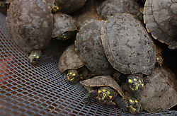 A turtle struggles to free itself just before it's scheduled release.  Thousands of Arrau turtles were released in the Orinoco river as part of a 10 year program that has released over 165,000 turtles.  The Venezuelan government says the program holds the world record for number of endagered species released into the wild.  The turtles are threatened by a variety of predators, including humans who eat their eggs and meat.