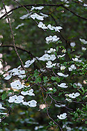 Eddie's White Wonder Dogwood blossoms (hybrid between Cornus nuttallii x Cornus florida).  This hybrid was developed between the Pacific Dogwood and the Flowering Dogwood partly to avoid the fungus that damages the Pacific Dogwood.