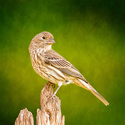 A Female House Finch Looking Backward On A Broken Tree Against A Backdrop Of Green Texture
