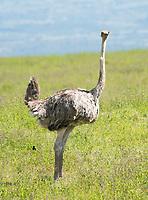Female Common Ostrich, Struthio camelus, defecating in Lake Nakuru National Park, Kenya