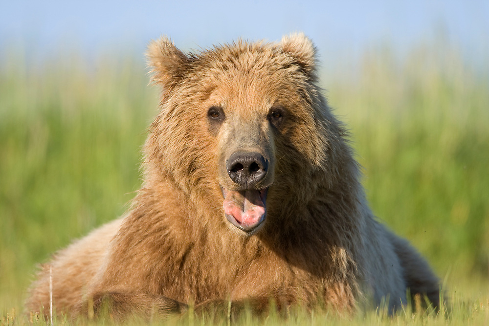 USA, Alaska, Katmai National Park, Brown Bear (Ursus arctos) sticking out tongue while yawning in meadow along Hallo Bay