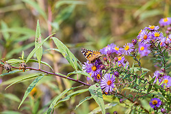 Painted Lady Butterfly (Vanessa cardui) on a purple aster bloom