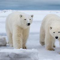 Two inquisitive polar bear cubs move along the shores of arctic Alaska